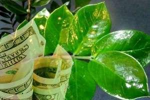 Листья растения и доллары